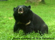 Bear-NickRebollozo998#197E1.jpg