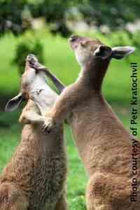 Kangaroos_PetrKratochvil_1-1276sm.jpg